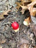 National Forest Mushroom