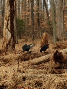 vultures in woods