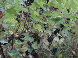 Grandma's grape vines