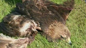 Golden eagle found alive 27 days after losing wing to wind turbine Courtesy: Jim Wiegand