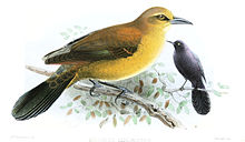 Slender-billed grackle