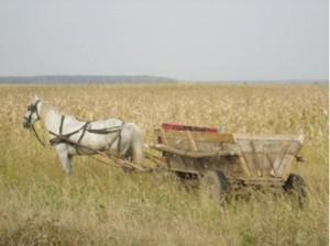 field of corn Tirgsorul Vechi 2011